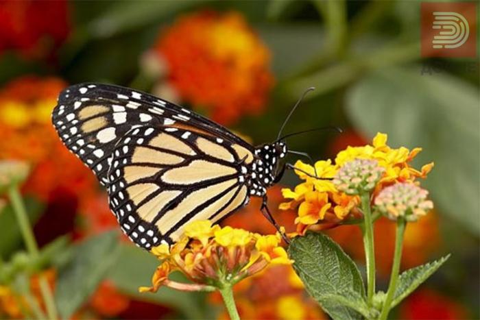 Алармантно: Изумираат пеперутките и пчелите