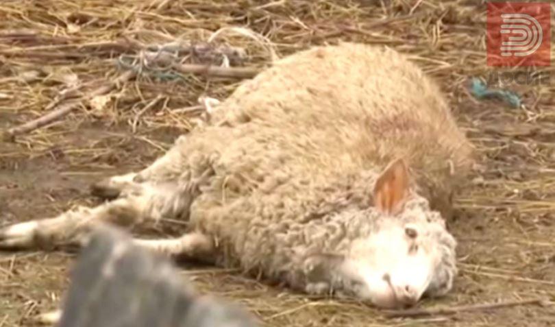 Ветеринарниот факултет потврди дека во Македонија има антракс, нема заболени меѓу нивните вработени