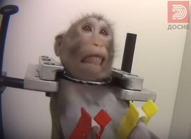 Полиција и инспекција во лабораторијата на ужасот: Мајмуните гледале како се мачат мајмуни за да бидат мирни!