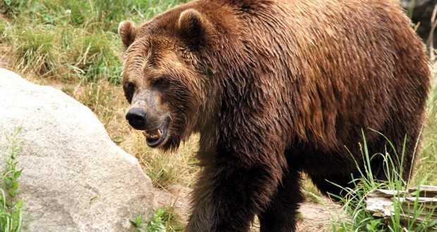 Кучињата спасиле овчар нападнат од мечка на Шар Планина