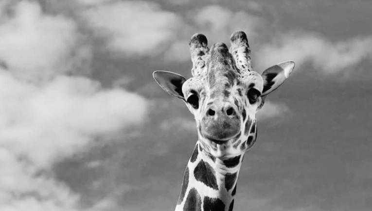 Угина жирафата Тобого во Скопската ЗОО