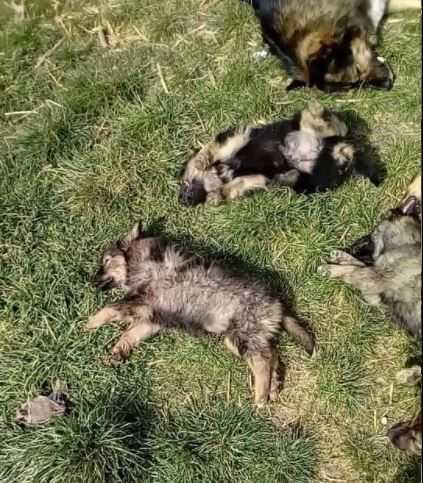 Видео: Масакар на кучиња во село Косел, Охрид